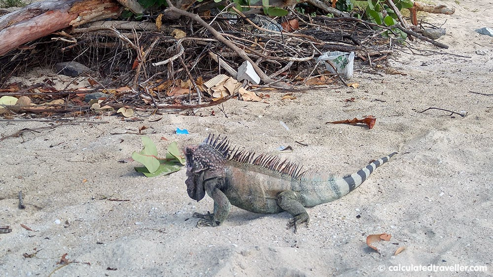 An Enjoyable Day on Emerald Beach in St Thomas USVI - Iguana